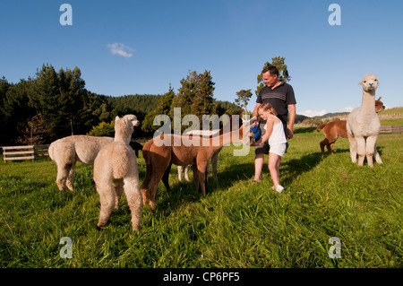 Farther and daughter feeding Alpacas on there life style section, New Zealand - Stock Photo