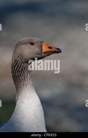 Greylag Goose head and neck - Stock Photo