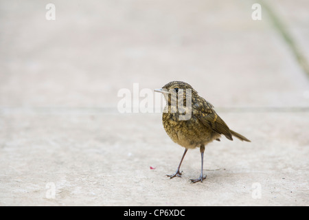 Fledged juvenile Robin on a garden path. UK - Stock Photo