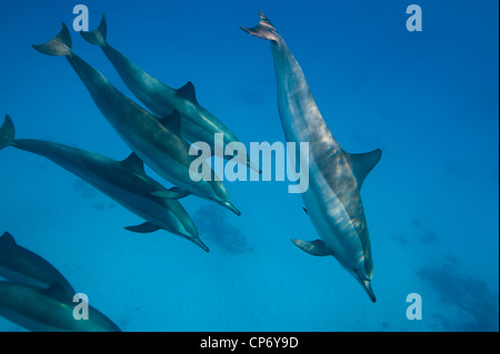 Spinner Dolphins in the Red Sea, Egypt - Stock Photo