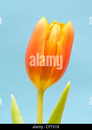 Orange tulip on Blue background - Stock Photo