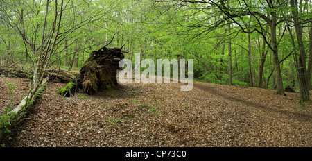 Woodland in Thorndon Park in Essex - Stock Photo