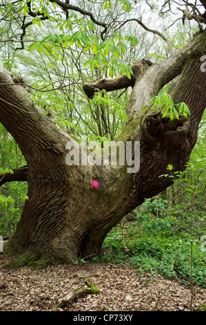 An old Beech tree marked for felling - Stock Photo
