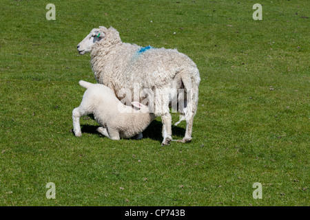 Lamb feeding from its mother on Romney Marsh, Near Rye, East Sussex.
