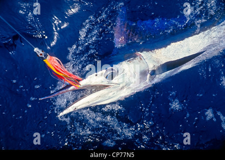 Short-billed Spearfish Hooked with Hawaiian Jet Head Trolling Lure - Stock Photo