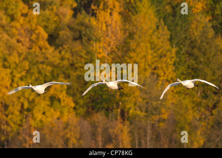 Trumpeter swans in flight at Potter Marsh near Anchorage, Southcentral Alaska, Autumn - Stock Photo