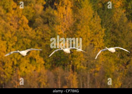 Trumpeter swans in flight at Potter Marsh near Anchorage, Southcentral Alaska, Autumn