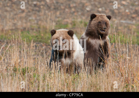 Spring Grizzly cubs playing in the grass, Denali National Park & Preserve, Interior Alaska, Autumn - Stock Photo