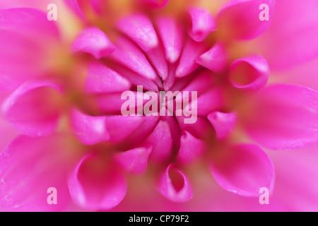 Dahlia cultivar, Dahlia, Pink. - Stock Photo