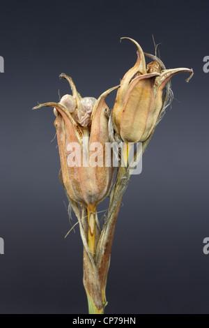Iris Spuria, Iris, Blue iris, Brown, Grey. - Stock Photo