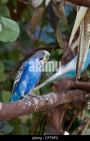 Two blue Budgies one sitting on branch one flyingg off, at Butterfly World, Klapmuts, South Africa - Stock Photo