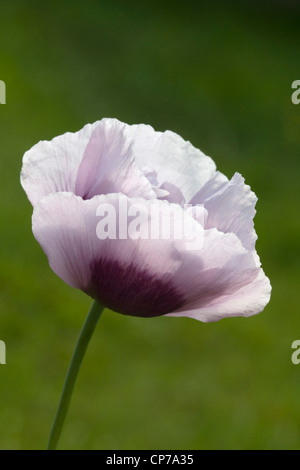 Papaver somniferum, Poppy, Opium poppy, White, Green. - Stock Photo
