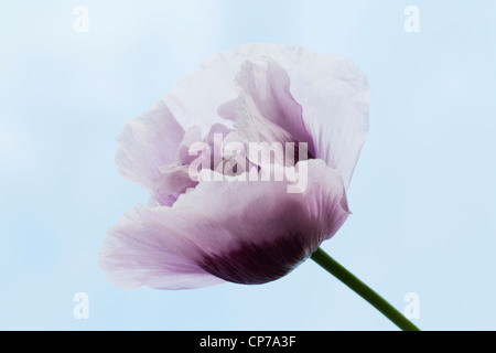 Papaver somniferum, Poppy, Opium poppy, White, Blue. - Stock Photo