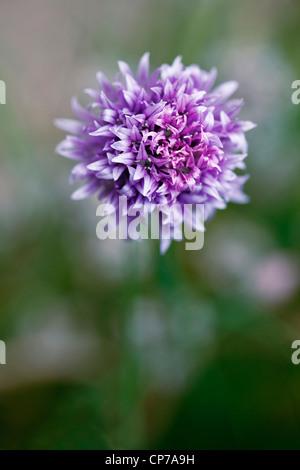 Allium schoenoprasum, Chive, Purple flower close up in shallow focus. - Stock Photo