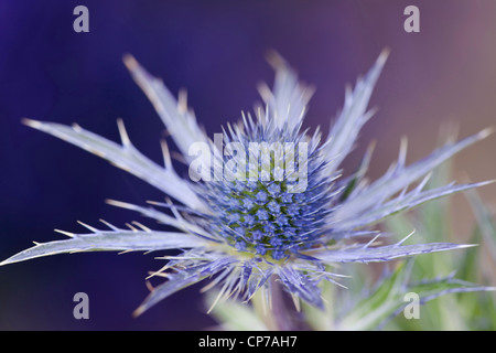 Eryngium x oliverianum, Sea holly, Blue. - Stock Photo