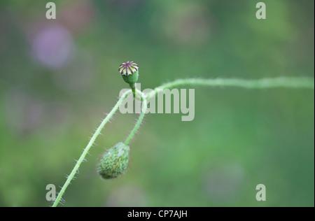 Papaver rhoeas, Poppy, Green, Green. - Stock Photo
