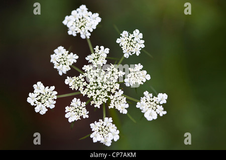 Petroselinum neapolitanum, Parsley, Flat leaf parsley, White, Green. - Stock Photo