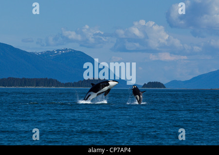 A female Orca and calf breach in Lynn Canal, Inside Passage, Juneau, Southeast Alaska, Summer - Stock Photo