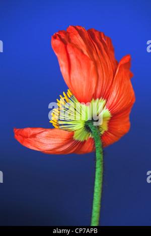 Papaver croceum, Papaver nudicale, Poppy, Icelandic poppy, Red, Blue. - Stock Photo
