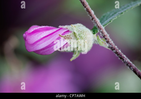 Lavatera x clementii 'Rosea', Tree mallow, Pink. - Stock Photo