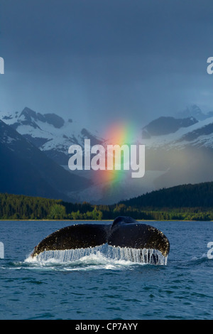 COMPOSITE: Rainbow over Eagle Beach with a fluking Humpback Whale in the foreground, Inside Passage, Alaska - Stock Photo