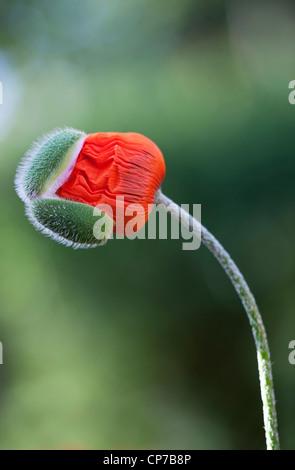Papaver orientale, Poppy, Oriental poppy, Red. - Stock Photo