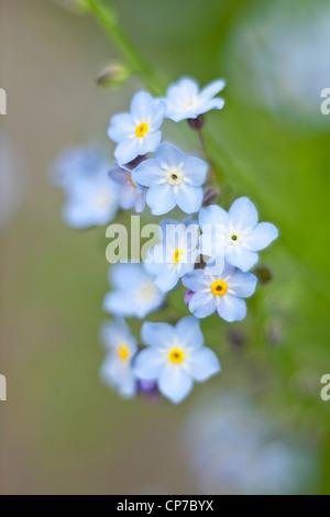 Myosotis arvensis, Forget-me-not, Blue. - Stock Photo