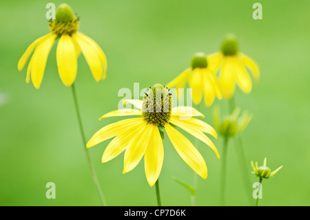 Ammi majus, Bishops weed, Yellow flowers against a green background. - Stock Photo