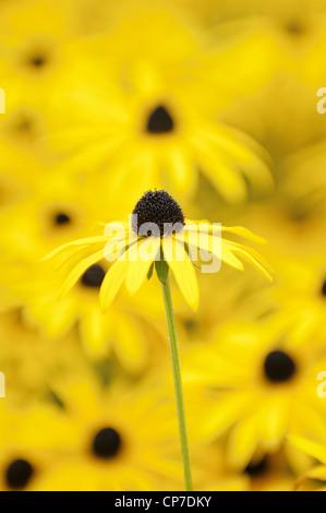 Rudbeckia fulgida var. deamii, Coneflower, Black-eyed Susan, Yellow flower isolated in shallow focus against similar - Stock Photo