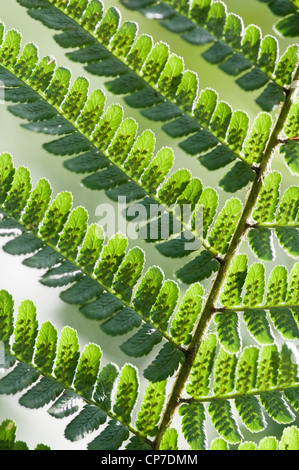 Pteridium aquilinum, Fern, Bracken, The underside of a green frond showing the spores casting a shadow on a white - Stock Photo
