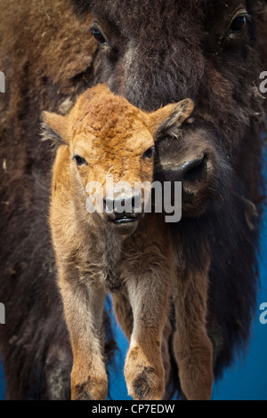 CAPTIVE: Close up of a newborn Wood Bison calf and mother, Alaska Wildlife Conservatiion Center, Southcentral Alaska, - Stock Photo