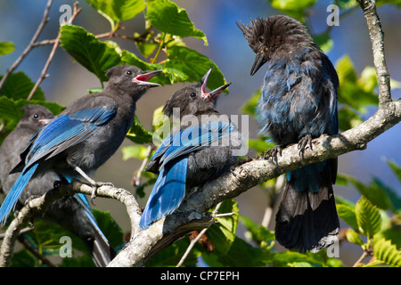 Steller's Jay feeds a pair of open-mouthed chicks near Valdez, Southcentral Alaska, Summer - Stock Photo