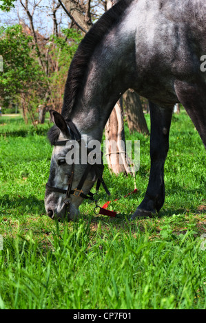 Grazing horse on juicy green grass on a bright sunny day. - Stock Photo