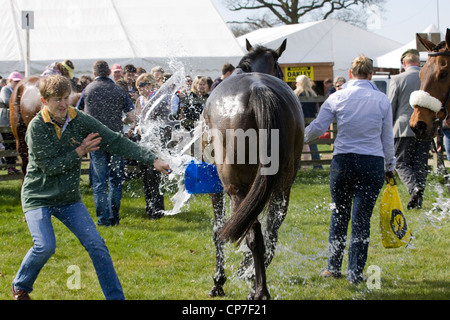 A  Thoroughbred horse Equus ferus caballus in the collecting ring being washed down after a horse race - Stock Photo