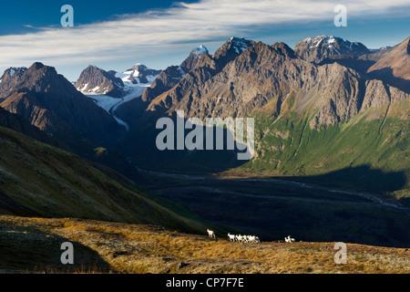 Dall Sheep on a ridge overlooking Eklutna River, Eklutna Glacier, Chugach State Park, Southcentral Alaska, Autumn - Stock Photo