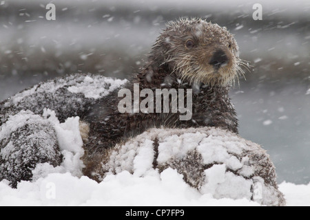 Snowcovered sea otter mother with young pup during a blizzard in Prince William Sound, Southcentral Alaska, Winter Stock Photo