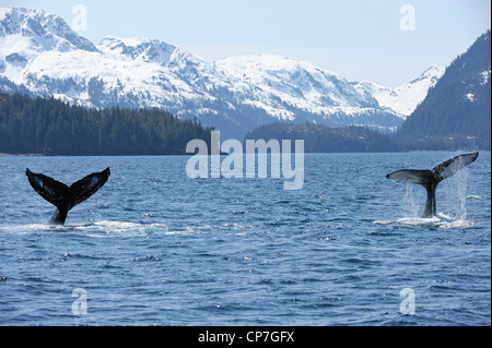 The tails of two humpback whales in Knight Island Passage near Pleides Island, Prince William Sound, Alaska - Stock Photo