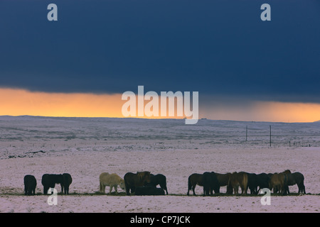 Icelandic horses in a winter snowstorm in the background - Stock Photo