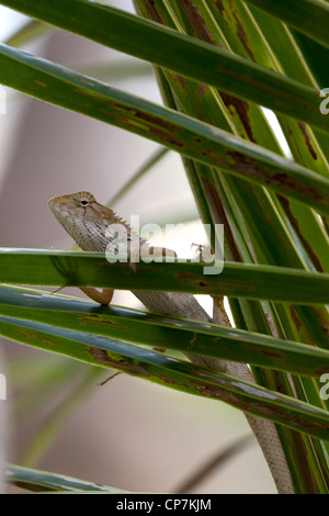 A small specimen of the Garden Fence Lizard (Calotes versicolor) on the watch. Petit lézard du genre Agama aux aguets. - Stock Photo