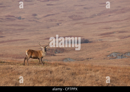 Stag photographed in Scotland during Autumn/Fall - Stock Photo