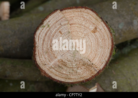 Norway Spruce (Picea abies). Cross section of recently sawn trunk. Showing annual growth rings. - Stock Photo