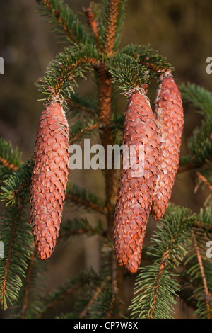 Norway Spruce (Picea abies). Cones. Seed bearing. Needles. - Stock Photo
