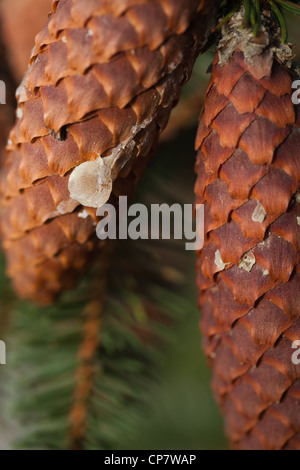 Norway Spruce (Picea abies). Cone with dry resin running down from an injury point on branch. Seed bearing. Needles. - Stock Photo