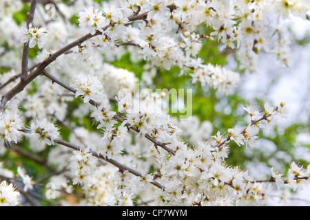 Tiny white flowers on Blackthorn, Sloe or Prunus spinoza branches in early spring - Stock Photo