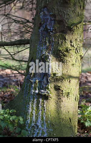 Norway Spruce (Picea abies). Trunk with resin running down from an injury point. - Stock Photo