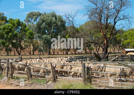 Marino sheep Bungaree Station Clare Valley South Australia - Stock Photo