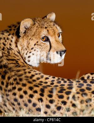 Cheetah portrait at sunset, (Acinonyx jubatus), South Africa - Stock Photo
