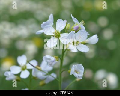 Cuckoo flower, lady´s smock / Cardamine pratensis / Wiesenschaumkraut - Stock Photo
