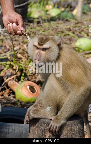 Thailand, Island of Ko Samui (aka Koh Samui). Coconut plantation, trained macaque monkey. - Stock Photo