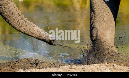 A bull African Elephant throws fresh mud on his foot to keep pestering insects at bay. South Africa - Stock Photo